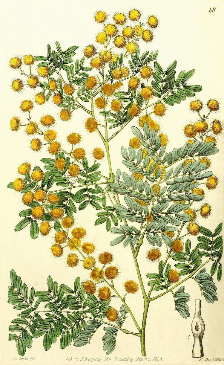 Mimosoideae Angiosperm families LeguminosaeMimosoideae Kunth