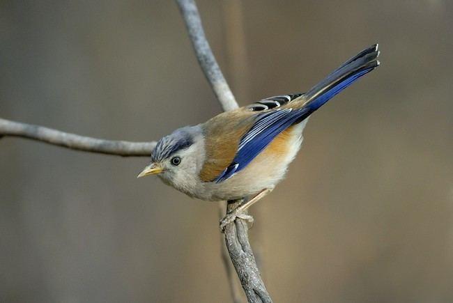 Minla Oriental Bird Club Image Database Bluewinged Minla Minla