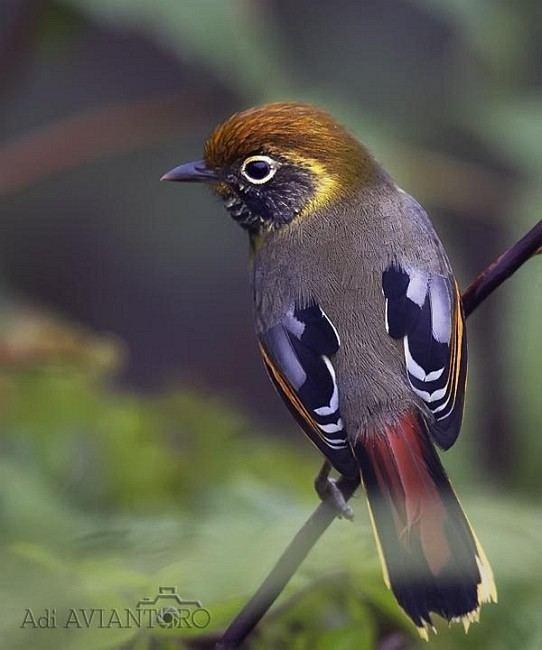 Minla Oriental Bird Club Image Database Photographers
