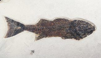 Mioplosus Beautiful 775 Inch Mioplosus Fish Fossil For Sale 1170