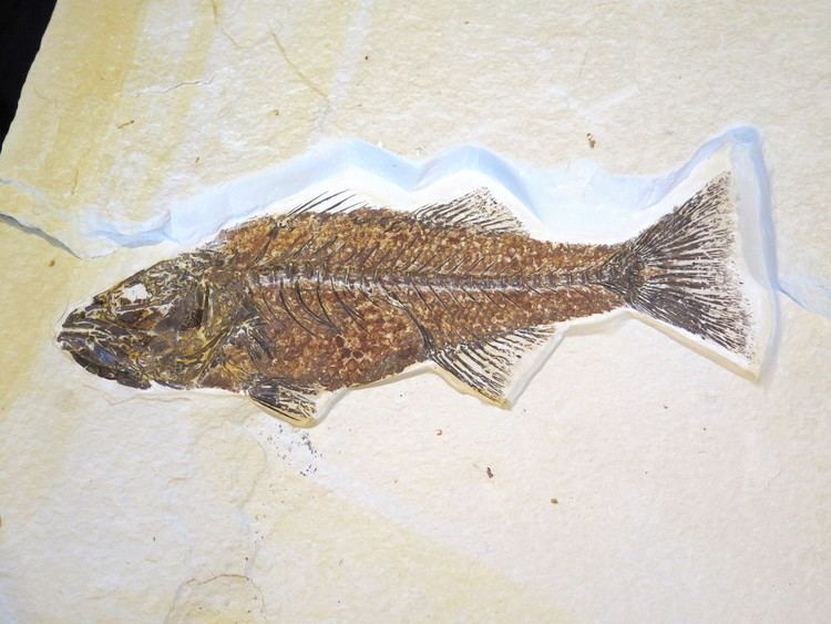 Mioplosus mioplosus fish for sale Fossils for Sale Fossil Shack