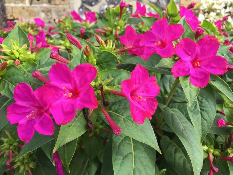 Mirabilis jalapa Daily Flower Candy Mirabilis jalapa The Frustrated Gardener
