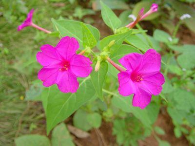Mirabilis jalapa Mirabilis jalapa a true night flower