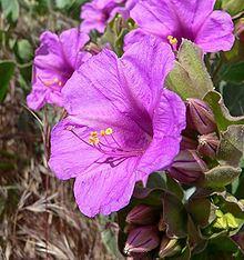 Mirabilis multiflora httpsuploadwikimediaorgwikipediacommonsthu