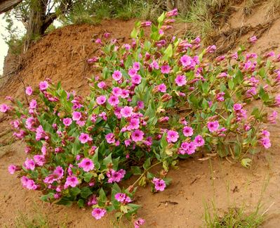Mirabilis multiflora Mirabilis multiflora quotShowy 4 o39clockquot Buy Online at Annie39s Annuals