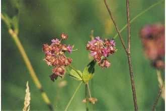 Mirabilis nyctaginea Plants Profile for Mirabilis nyctaginea heartleaf four o39clock