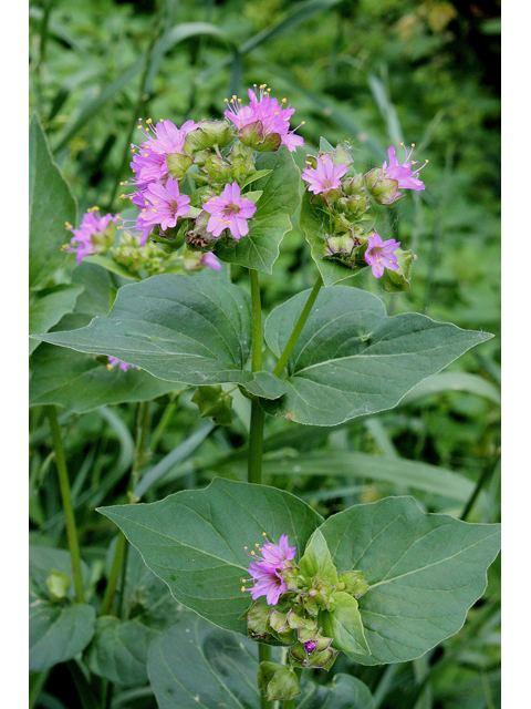 Mirabilis nyctaginea wwwwildflowerorgimagearchive640x480RWSRWSI