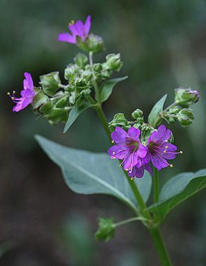 Mirabilis nyctaginea Mirabilis nyctaginea Colorado Wildflowers
