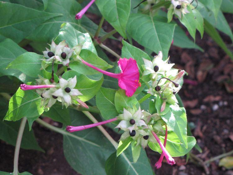 Mirabilis (plant) Mirabilis jalapa four o39clock umbrellawort Go Botany