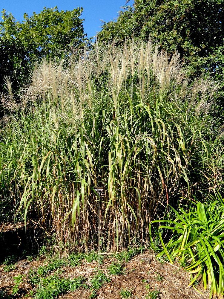 Miscanthus floridulus Miscanthus floridulus Wikipedia