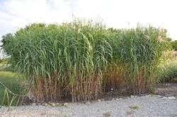 Miscanthus floridulus Miscanthus Floridulus 39Giganteus39 Ornamental Grasses Resources