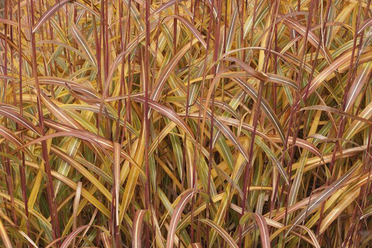 Miscanthus sacchariflorus Miscanthus sacchariflorus Amur silvergrass Go Botany