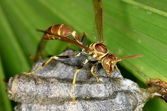 Mischocyttarus Paper Wasp Mischocyttarus mexicanus cubicola Mischocyttarus
