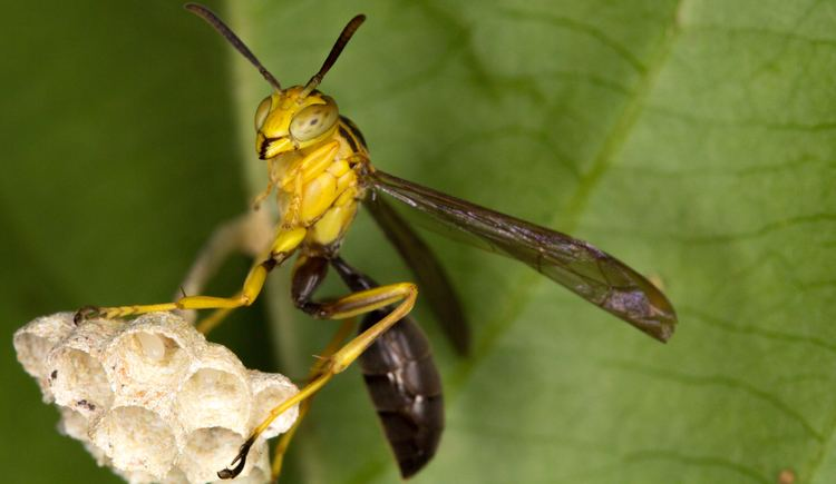 Mischocyttarus FileMischocyttarus sp Ecuadorjpg Wikimedia Commons