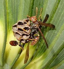 Mischocyttarus Mischocyttarus mexicanus cubicola Wikipedia