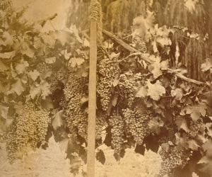 Mission (grape) Mission Wine Information