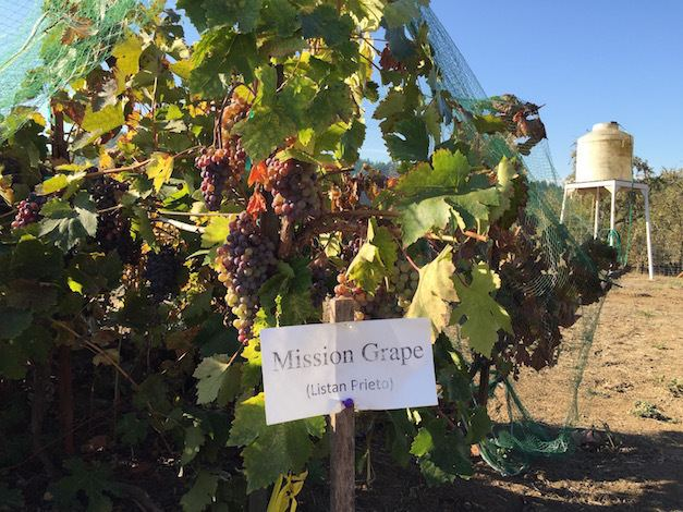 Mission (grape) Abacela discovers 140yearold Mission grape planting Great