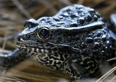 Mississippi gopher frog Mississippi gopher frog needs more protected turf federal agency