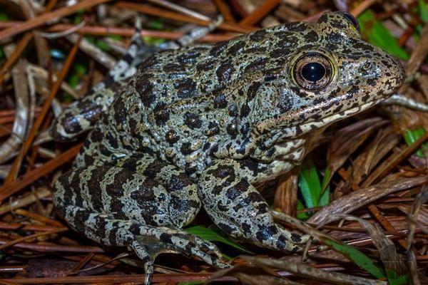 Mississippi gopher frog Griffith on Twitter quotRT AmphibianPhil frogOTD Mississippi gopher