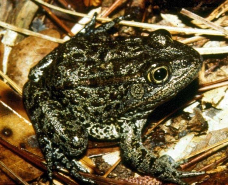 Mississippi gopher frog httpsuploadwikimediaorgwikipediacommons55