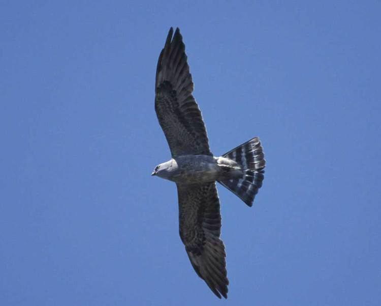Mississippi kite Mississippi Kite Audubon Field Guide