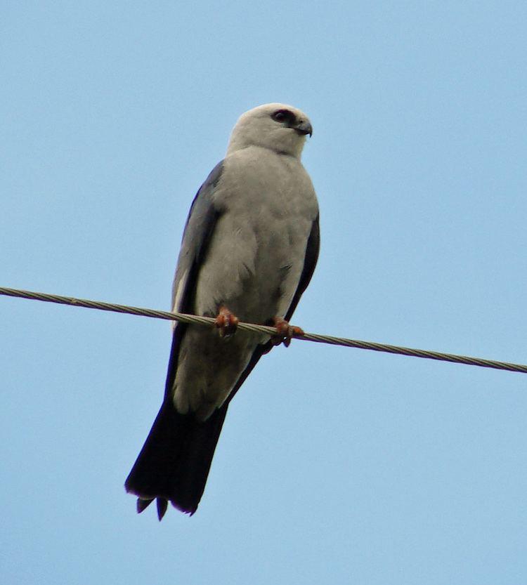 Mississippi kite Mississippi kite Wikipedia
