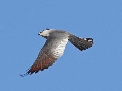 Mississippi kite Mississippi Kite Identification All About Birds Cornell Lab of