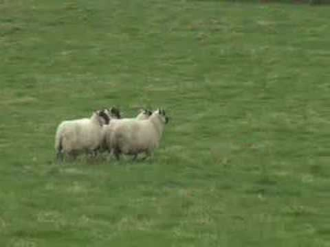 Mist: The Tale of a Sheepdog Puppy movie scenes Eddie the Sheepdog Highlights