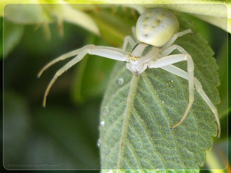 Misumena vatia Misumena vatia by webcruiser on DeviantArt