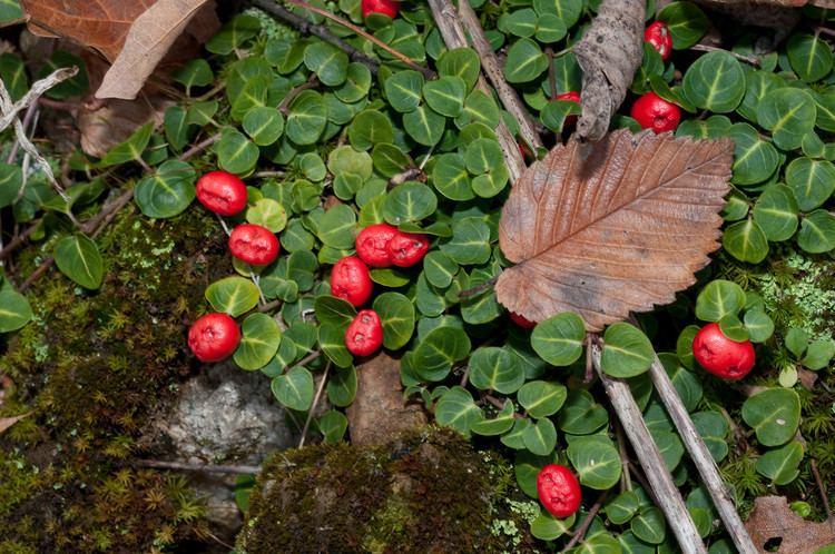 Mitchella Mitchella repens Partridgeberry