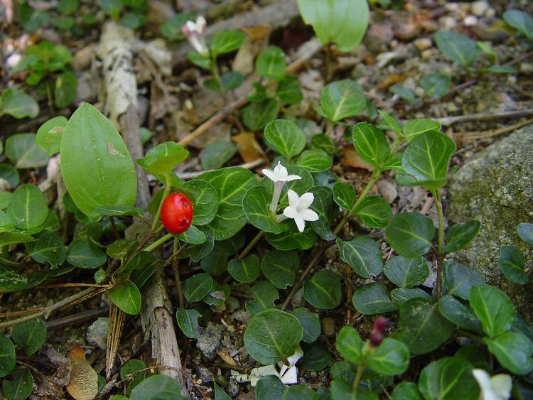Mitchella Mitchella repens partridgeberry Go Botany