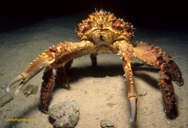 Mithrax spinosissimus The Right Blue The Channel Clinging Crab Mithrax spinosissimus
