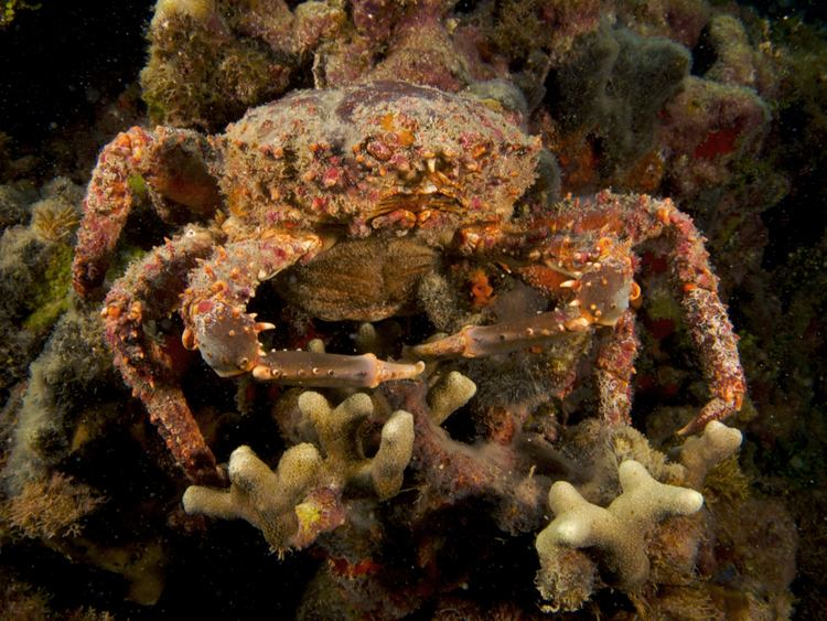 Mithrax spinosissimus FileMithrax spinosissimus Channel Clinging Crab femalejpg