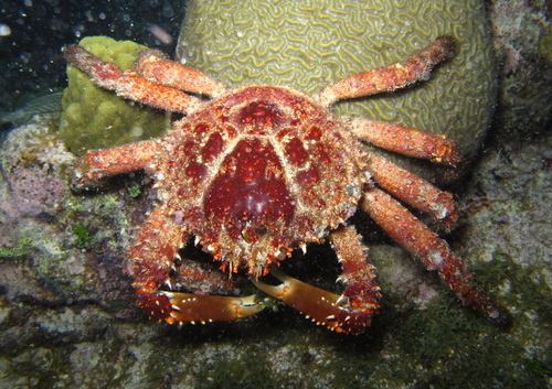 Mithrax spinosissimus Channel Clinging Crab observed by callieoldfield on June 1 2013