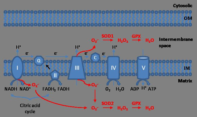 Mitochondrial ROS