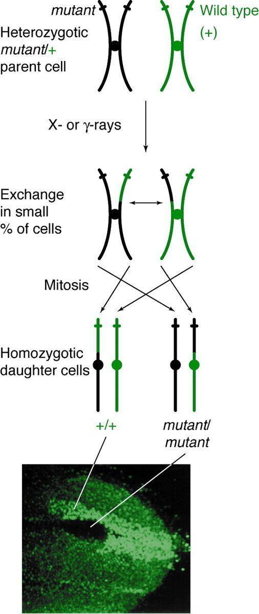Mitotic recombination