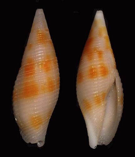 Mitra rubiginosa