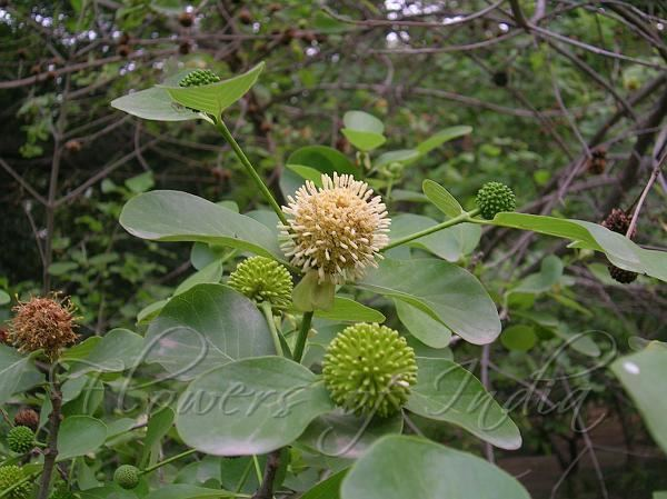 Mitragyna parvifolia Mitragyna parvifolia Kaim