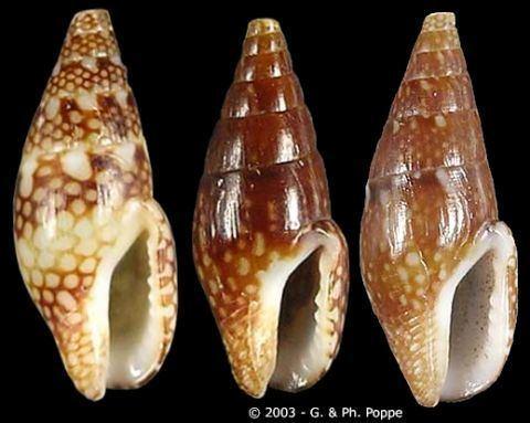 Mitrella (gastropod) Mitrella Mitrella ocellata guttata