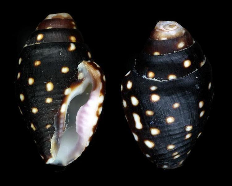 Mitrella (gastropod) HOMEShellsGastropoda marineColumbellidae Mitrella ocellata