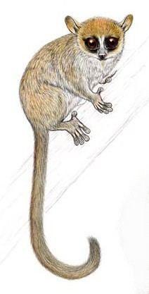 Mittermeier's mouse lemur wwwplanetmammiferesorgPhotosPrimateChirogal