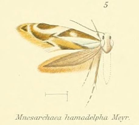 Mnesarchaea hamadelpha