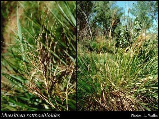 Mnesithea Mnesithea rottboellioides RBr de Koning amp Sosef FloraBase