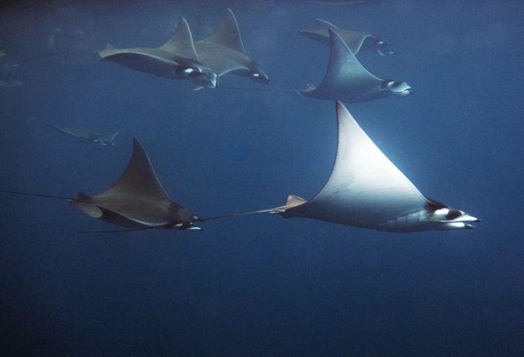 Mobula Photos of Myliobatid rays