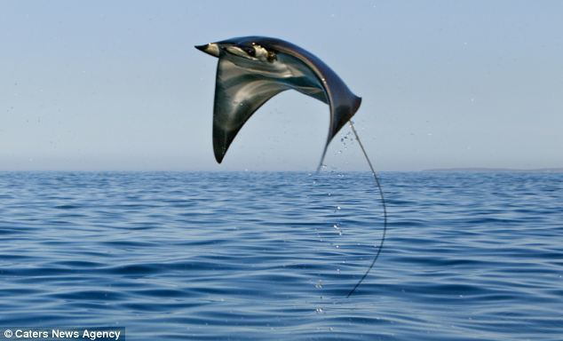 Mobula Flying lessons School of giant mobula pictured leaping five feet