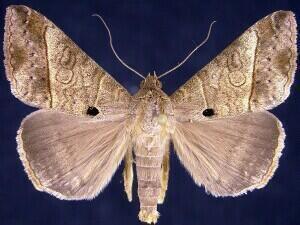 Mocis latipes mothphotographersgroupmsstateeduFiles1JV300J
