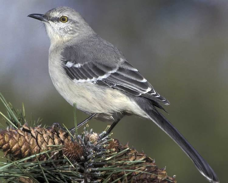 Mockingbird Northern Mockingbird Audubon Field Guide