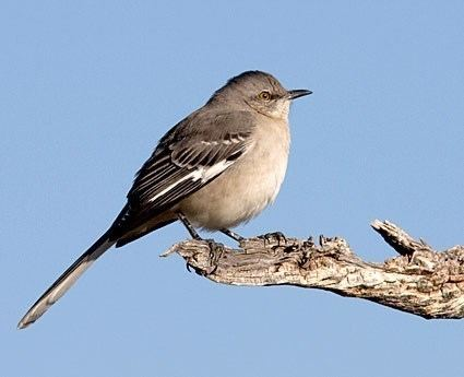 Mockingbird Northern Mockingbird Identification All About Birds Cornell Lab