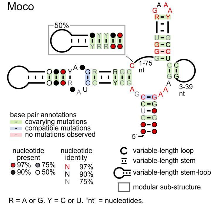 Moco RNA motif