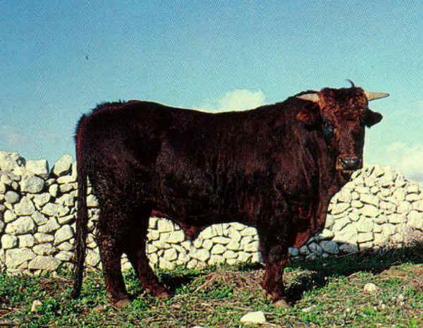 Modicana Italian breeds of cattle Modicana